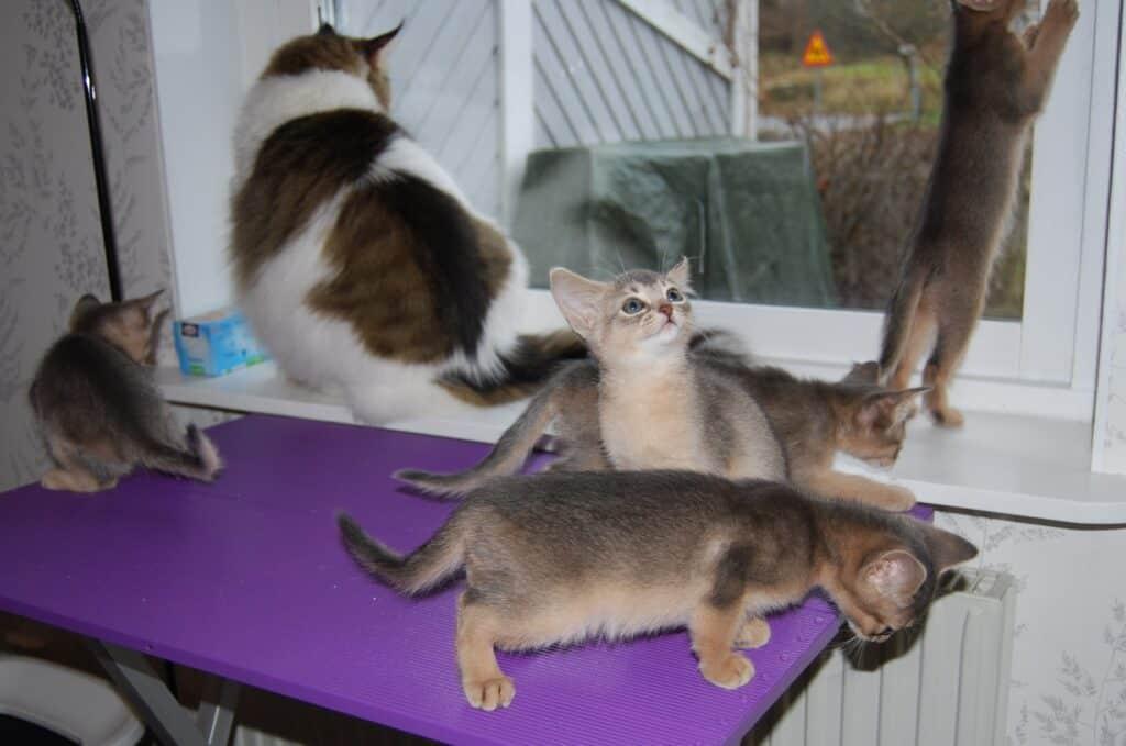 Alla fem kattungarna med fokus på olika saker. Även norska skogkatten Whiskey är med på bilden.