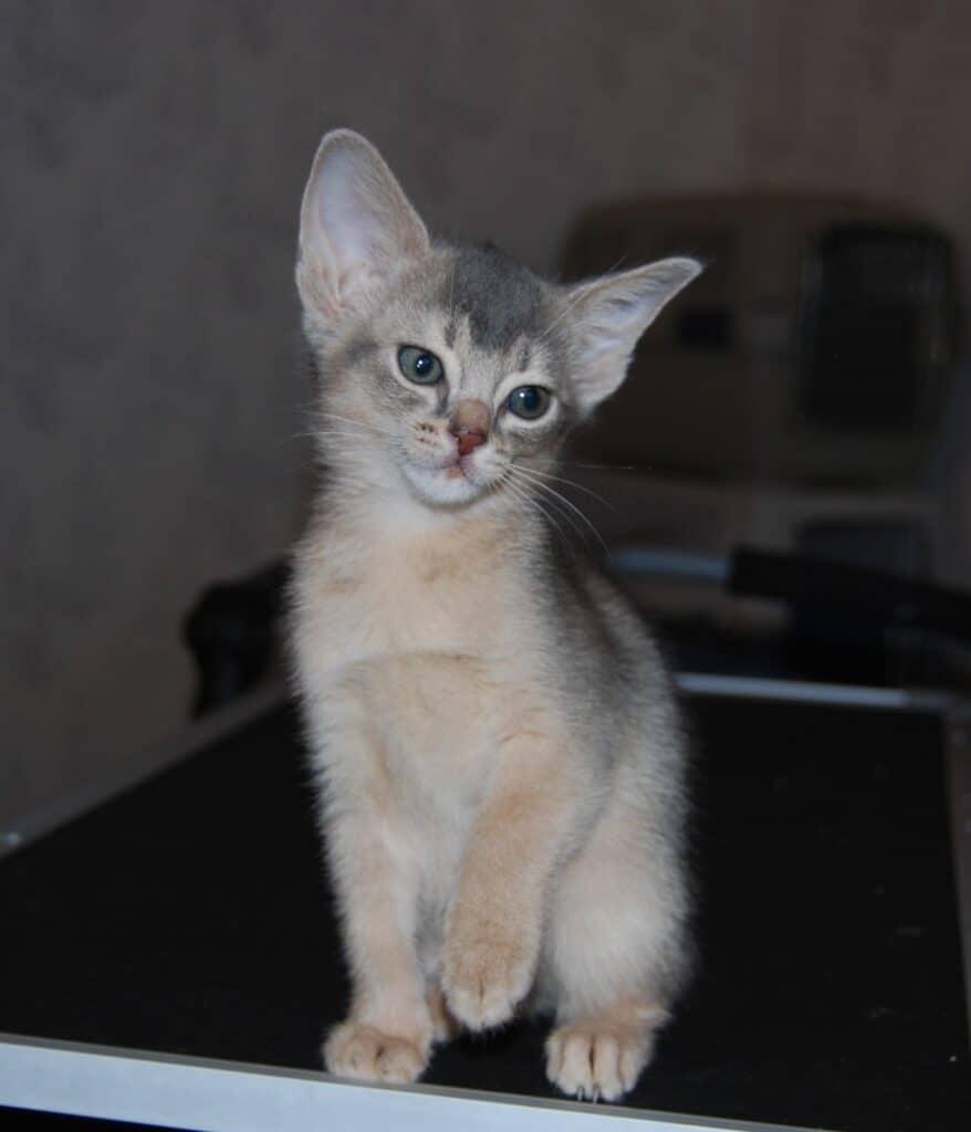 Honkattunge sitter med en tass lite lyft. Hon tittar lite till vänster.