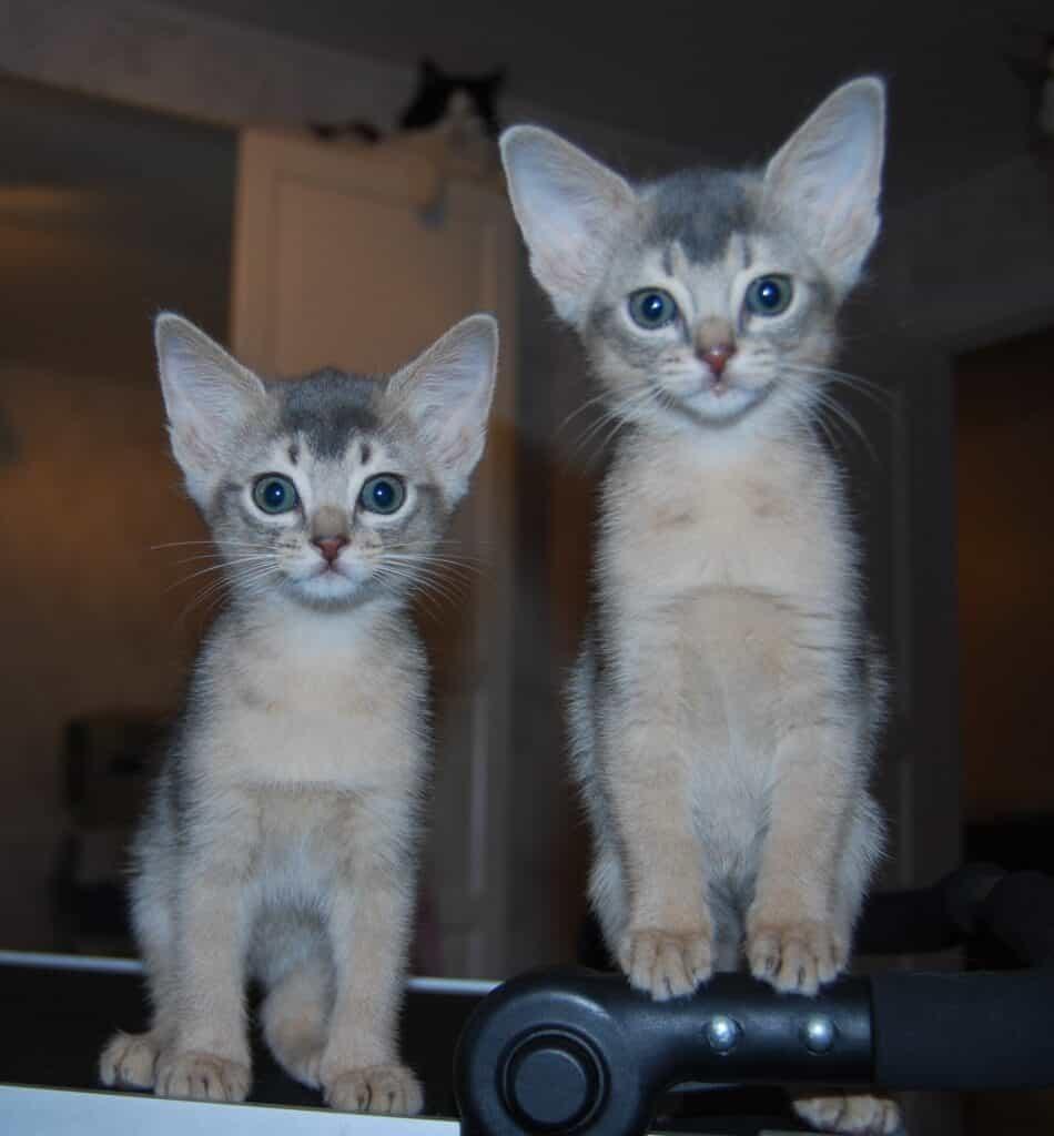 Två kattungar sitter bredvid varandra, tittar rakt fram.