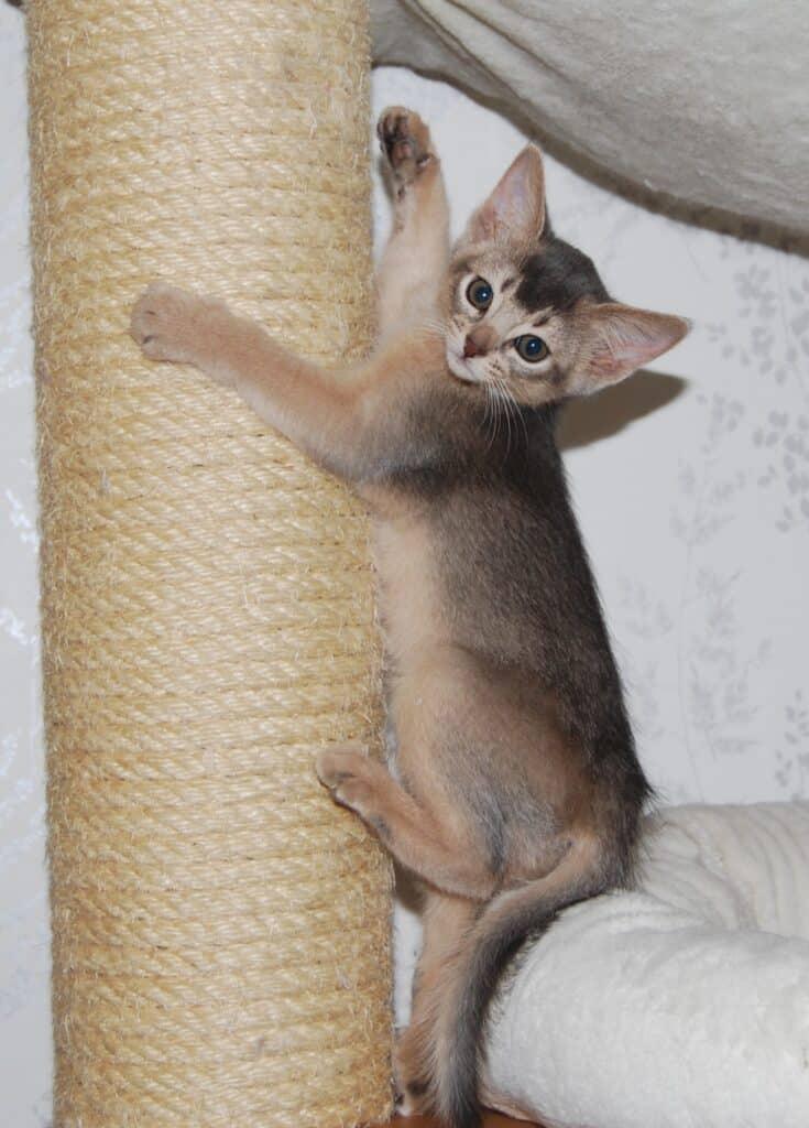 Kattunge klättrar på klöspelare.
