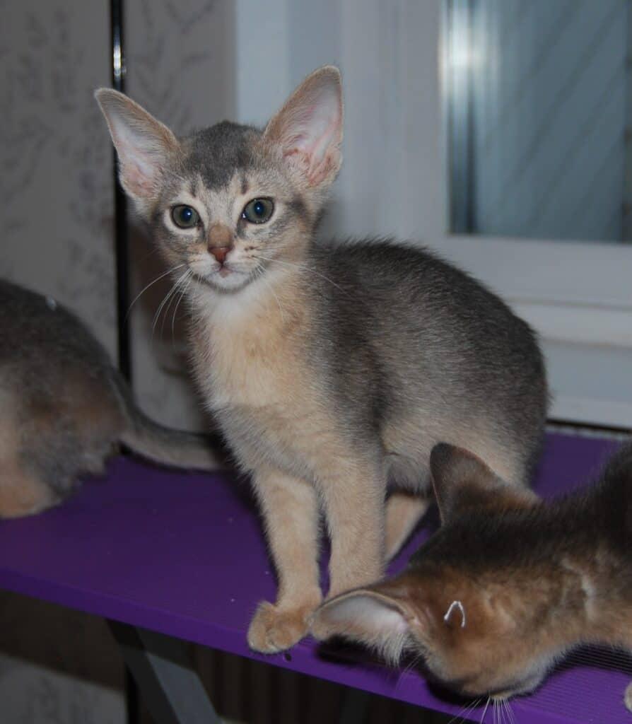 Sittande blå kattunge.
