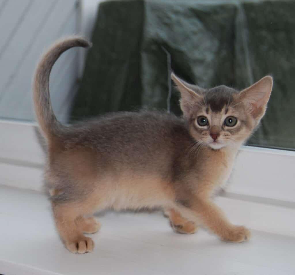 Blå kattunge, bild tagen från sidan.