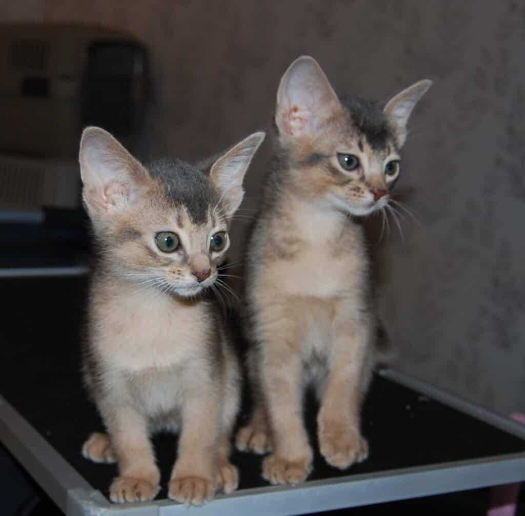 Två blå abessinierkattungar.