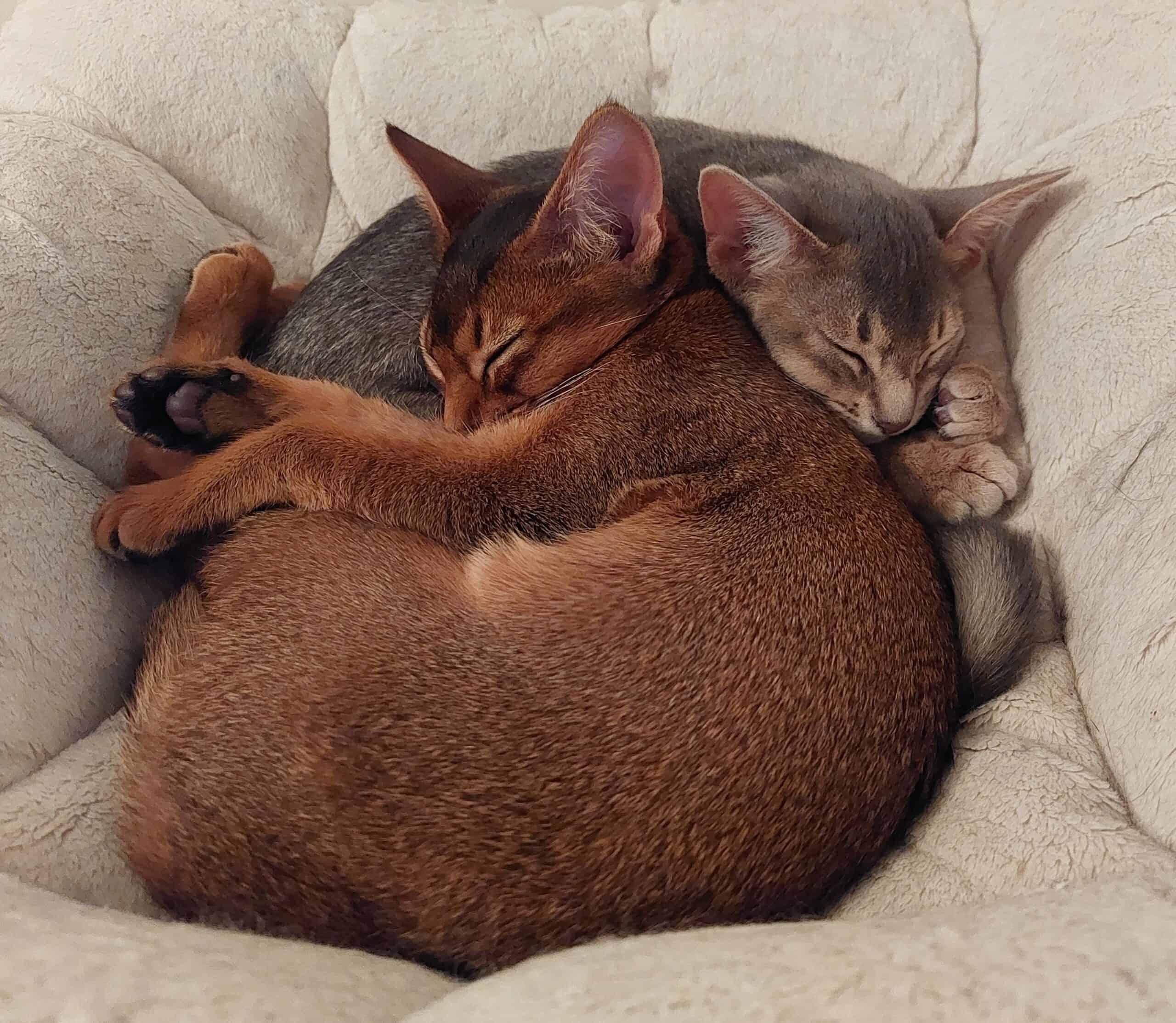 Två katter sover